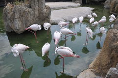 Group of flamingo stock images