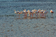 Group of flamingo birds Royalty Free Stock Images
