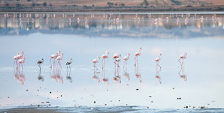Group of Flamingo birds  walking in a lake Stock Image