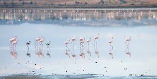 Group of Flamingo birds  walking in a lake Stock Image