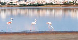 Group of Flamingo Birds walking on a lake Royalty Free Stock Image