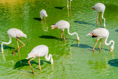 Group of flamingo feeding in the lake royalty free stock photos