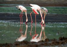 A group  of flamingo Royalty Free Stock Photography