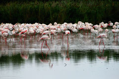 Group of flamingo's stock image