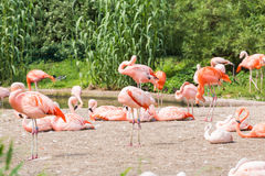 Group of flamingo`s , Flamingo resting in the grass. Group of flamingo`s , Flamingo resting in the grass royalty free stock photography