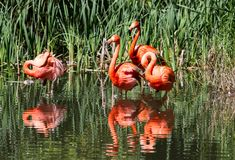 Group of Flamingoes enjoying a pond Stock Images