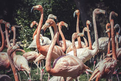 Group of flamingoes with long necks and beautiful plumage Royalty Free Stock Images