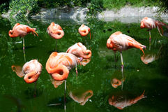 Group of flamingoes at the rest Stock Photo