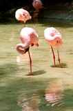 Group of flamingos Royalty Free Stock Photography