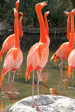 Group of Flamingos. Some Flamingos standing in the Water Royalty Free Stock Photo