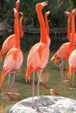 Group of Flamingos Royalty Free Stock Photo