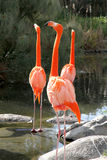 Group of Flamingos. Some Flamingos standing in the Water Stock Photo
