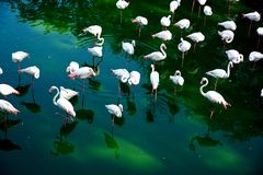 Group of flamingos Stock Photos