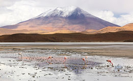 Group of Flamingos at an altiplano salt lake & x28;Bolivia& x29; Stock Image