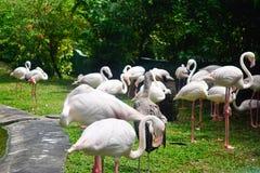 Group of flamingos bird Royalty Free Stock Photo