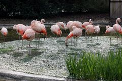 A pat of flamingos preening and sunning. stock photography