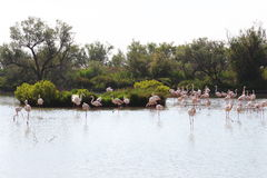 Group of flamingos in the Camargue, France stock photos