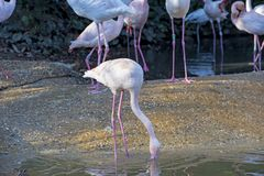 Group of flamingos in a pond royalty free stock image