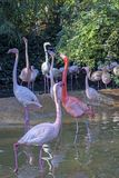 Group of flamingos in a pond royalty free stock photo