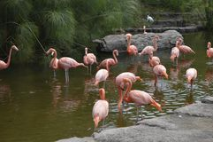 group of flamingos cooling in the lagoon stock image