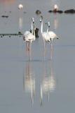 A group of Flamingos, Eker Bahrain Royalty Free Stock Photos
