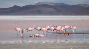 Group of flamingos feeding Stock Photography