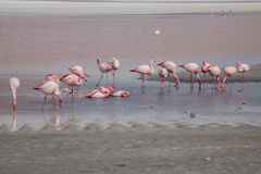 Group of flamingos feeding Royalty Free Stock Images