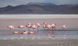 Group of flamingos Royalty Free Stock Image