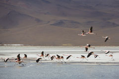 Group of flamingos flying on the lagoon, Bolivia Stock Images