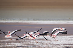Group of flamingos flying over the lagoon, Bolivia Royalty Free Stock Photos