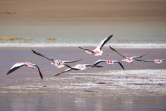 Group of flamingos flying over the lagoon, Bolivia Royalty Free Stock Images