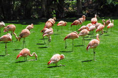 Group of flamingos on green grass Royalty Free Stock Photos