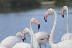 Group of flamingos. Horizontally. Royalty Free Stock Photography