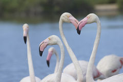 Group of flamingos. Horizontally. Royalty Free Stock Image