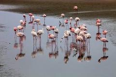 Group Flamingos in the lagoon of Walvis Bay, Namibia Stock Photos