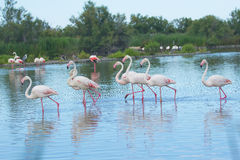 Group of flamingos in the lake. Stock Image