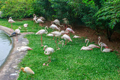 Group of flamingos. Royalty Free Stock Images