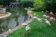 Group of flamingos. Stock Image