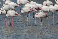 Group of flamingos in a lake Royalty Free Stock Photo