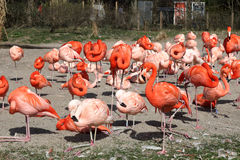 Group of flamingos Stock Images