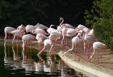 Group of flamingos in the park Stock Photo