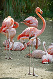 Group of flamingos Royalty Free Stock Images