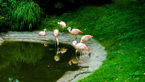 Group of flamingos by the pond royalty free stock image