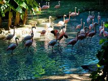 Group of Flamingos pond. Group of Flamingos in the pond Stock Photos