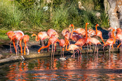Group of flamingos in a pond. A group of red and pink flamingos in a pond with water Royalty Free Stock Photography
