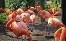 A group flamingos are searching for food royalty free stock images