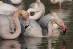Group Flamingos 5 Royalty Free Stock Images
