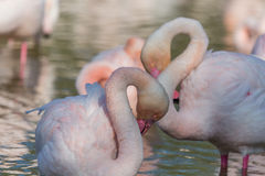 Group Flamingos 3 Stock Images