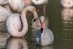 Group Flamingos 2 Royalty Free Stock Photography
