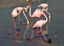 Group of flamingos socializing in the mud of lake. Group of flamingos with white and red feathers and thin pink legs & yellow eyes socializing in the mud of lake Stock Photo